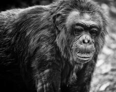 old_chimp