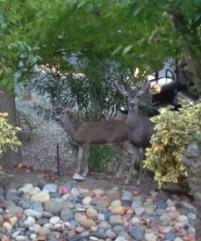 Rossmoor Deer