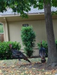 Rossmoor Wild Turkeys 2