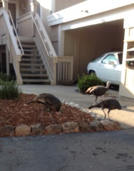 Wild Turkeys at Rossmoor 1