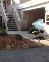 Wild Turkeys at Rossmoor 1