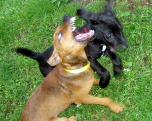 Two dogs fighting 1