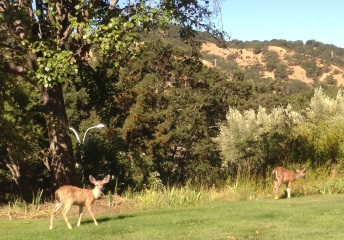 Deer from my Condo