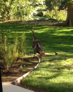 Wild turkey w chick 7-'16