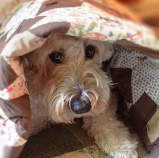 Dog under print blanket