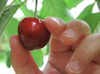 hand picking cherry