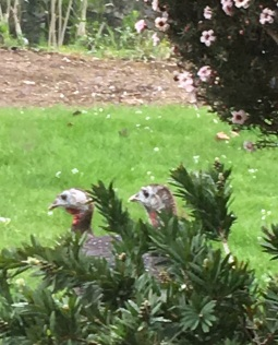 Turkeys Hiding