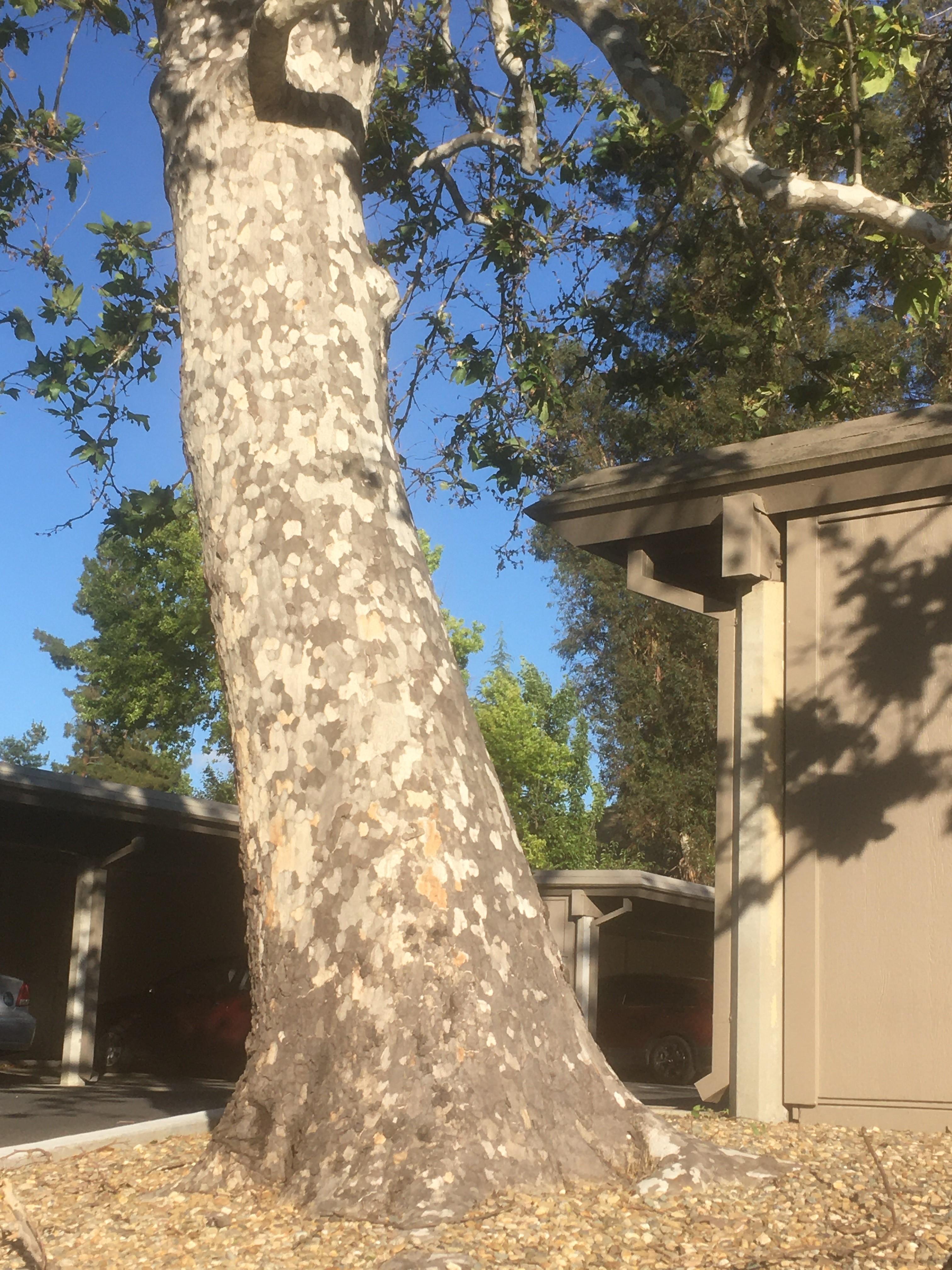 Dappled tree trunk