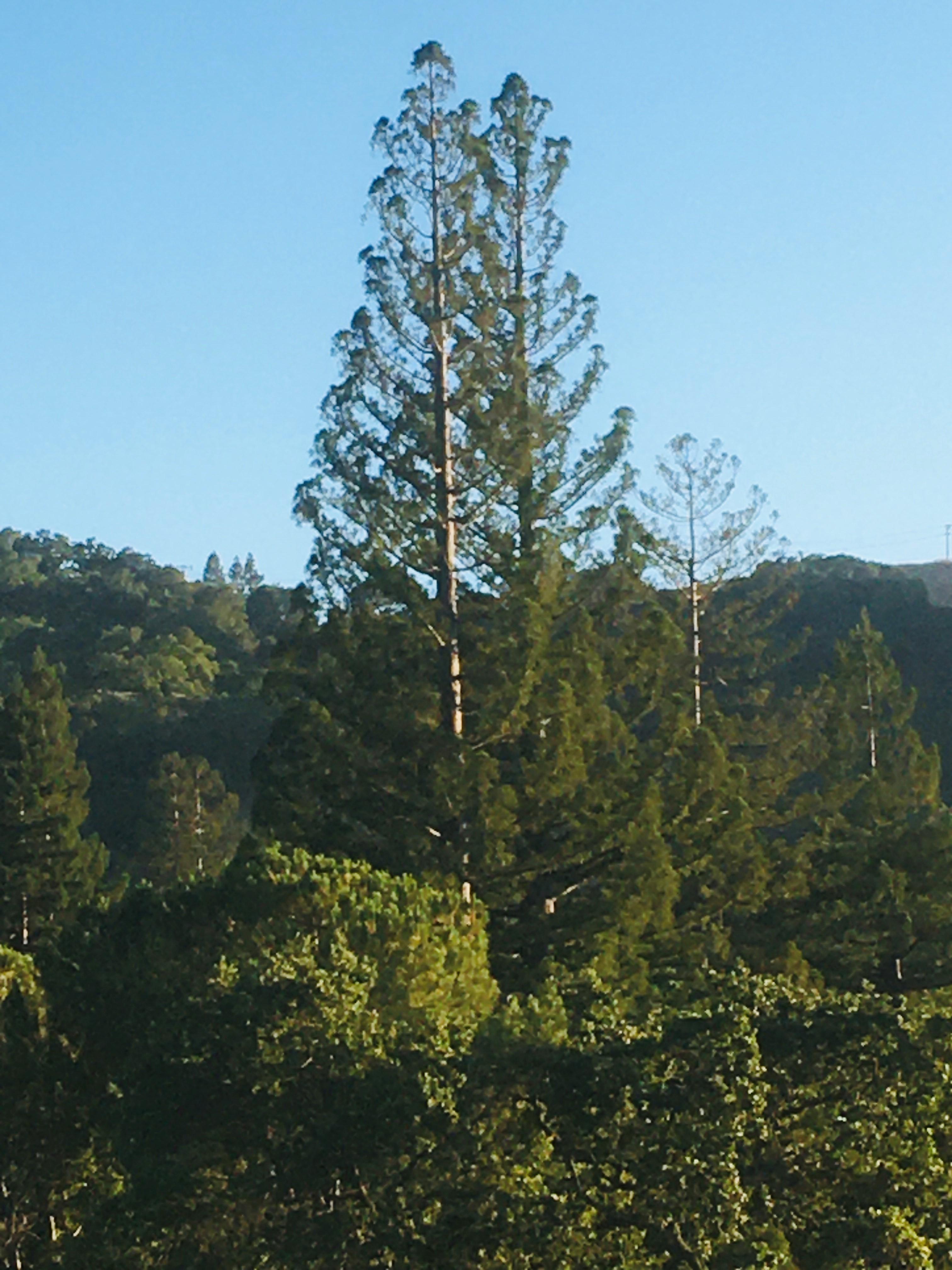 Tree c